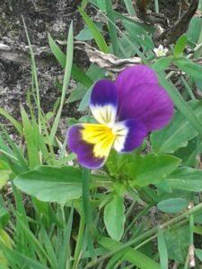viooltje kluizenaar