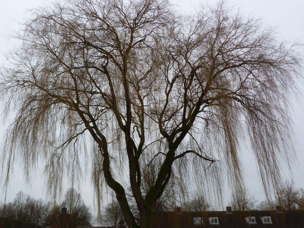 treurwilg, de boom die voor mij gelijk staat aan depressief zijn