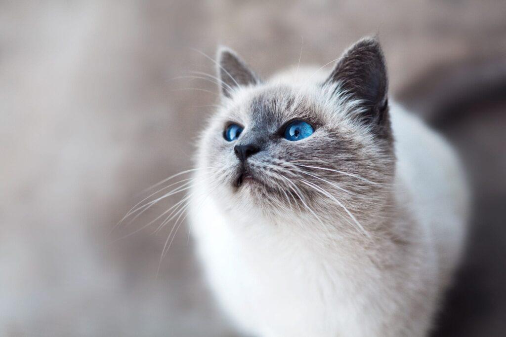 Heel blauw die ogen van die kat