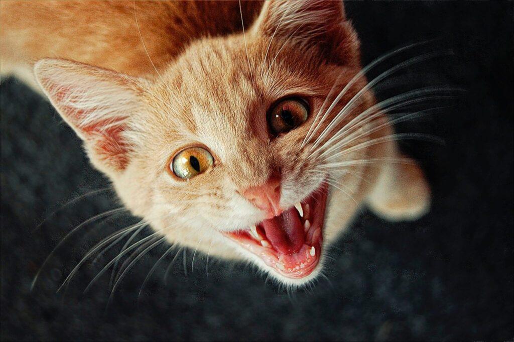 kat op het spek binden