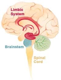 Het limbisch systeem in de hersenen