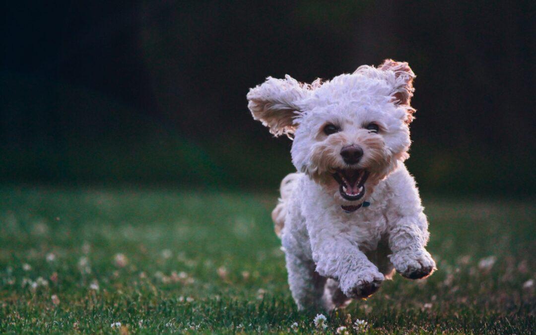 huppeldepup puppy