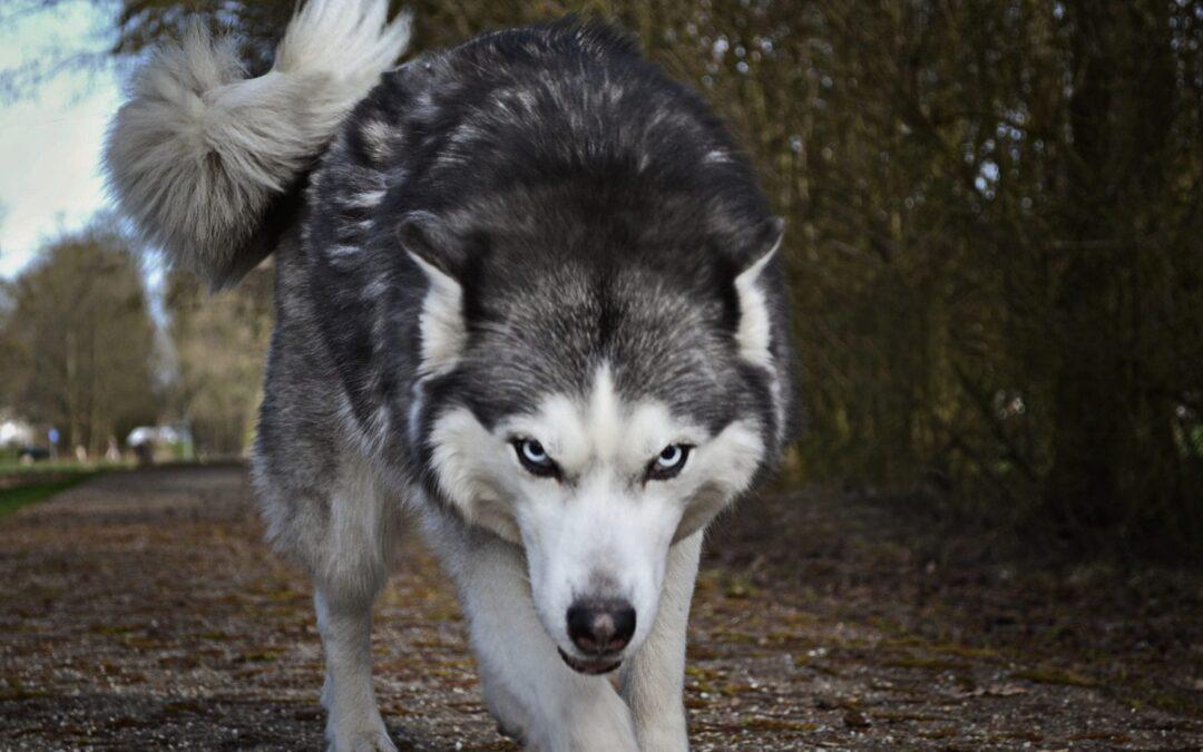 Een witgrijze wolf in een bos