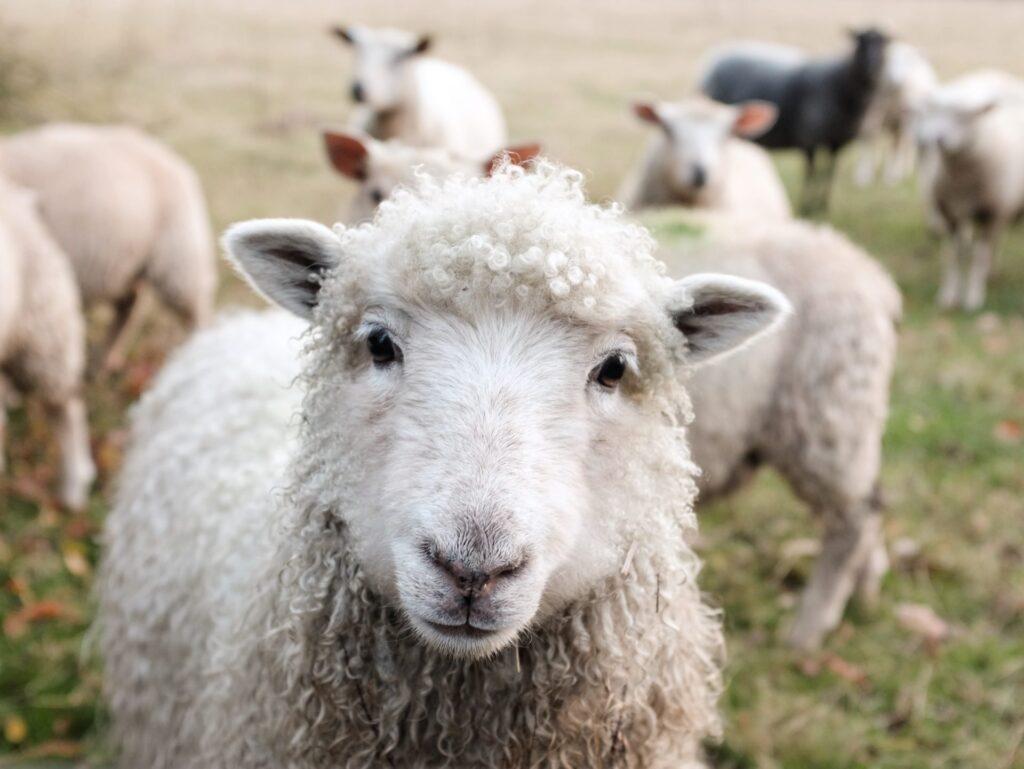 Advies kun je als een schaapje volgen. Of niet.